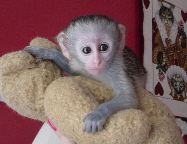 Buy Capuchin monkeys for sale