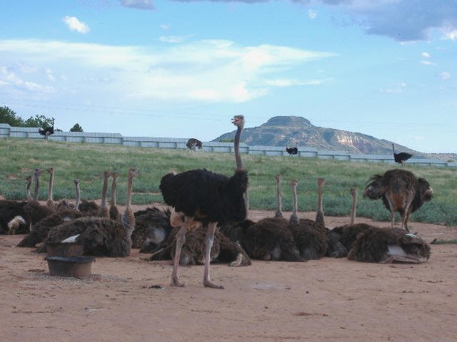 Buy Rheas Emus And Ostriches