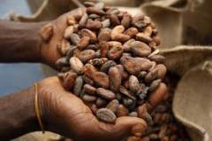 WE HAVE COCOA BEANS, ARABICA AND ROBUSTA GREEN