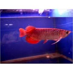 Live Super Red, Red Asian Arowana,jardini Arowana,Chili for sale