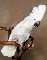 Umbrella Cockatoo M/f Talking Parrots for sale