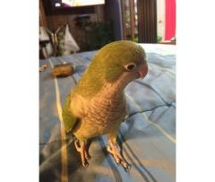 Quaker Parrot babies for Sale