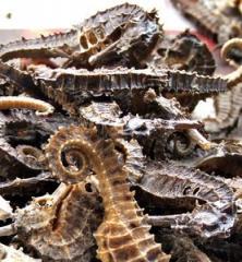 Dry Seahorse