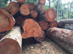Wood Timber logs and lumbers
