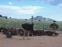 Rheas Emus And Ostriches