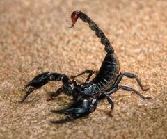 Black Scorpion For Sale