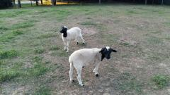 Live Dorper Sheep